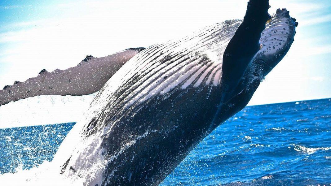 Balleneros japoneses mataron 333 ballenas este año, en nombre de la «ciencia»