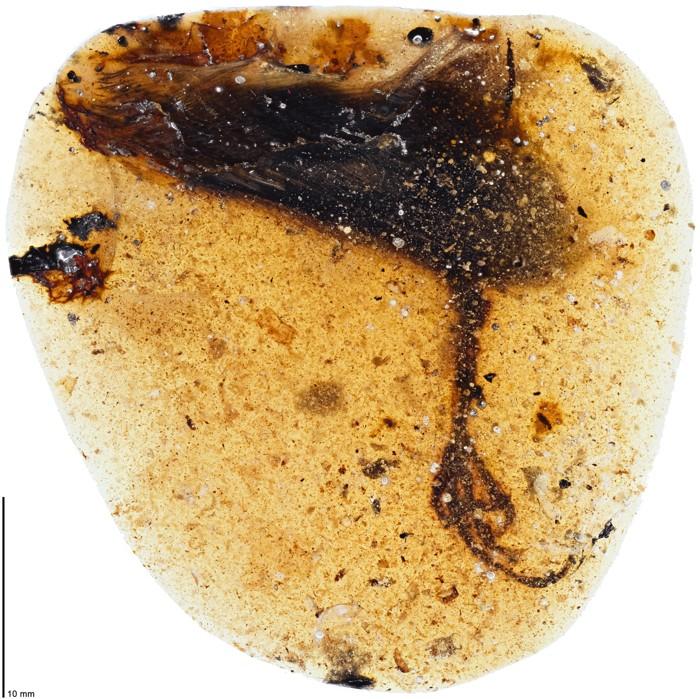 Hallan un pájaro antiguo con un dedo increíblemente largo conservado en ámbar